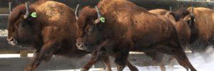 bison-relocation-to-banff